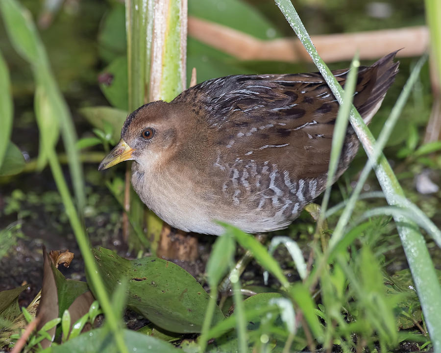 Sora Rail by Jim Zablotny