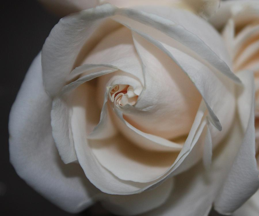 Floral Flowers Rose White Pearl Nature Lauren 2009 Digital Color Subject Style Photograph - Soul Of A Rose by Nancy TeWinkel Lauren