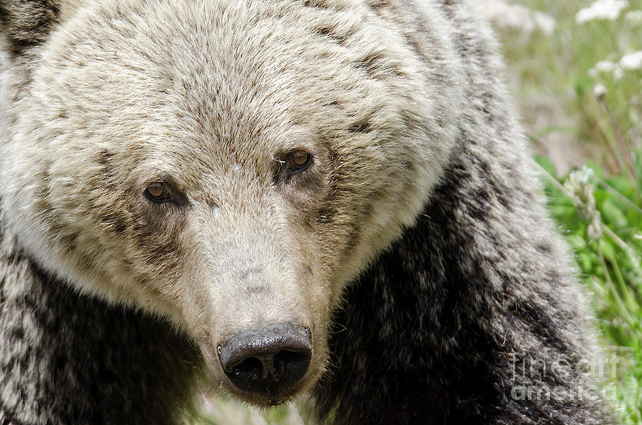 Grizzly Photograph - Soulful by Dee Cresswell