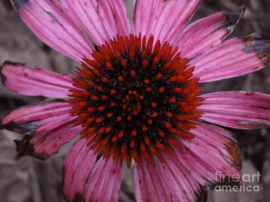 Echinacia Photograph - Souls Edges by Amanda Barcon