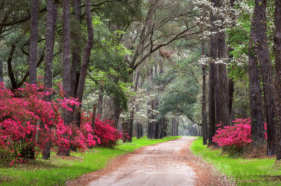 South Carolina Lowcountry Spring Flowers Dirt Road Edisto Island SC by Dave Allen