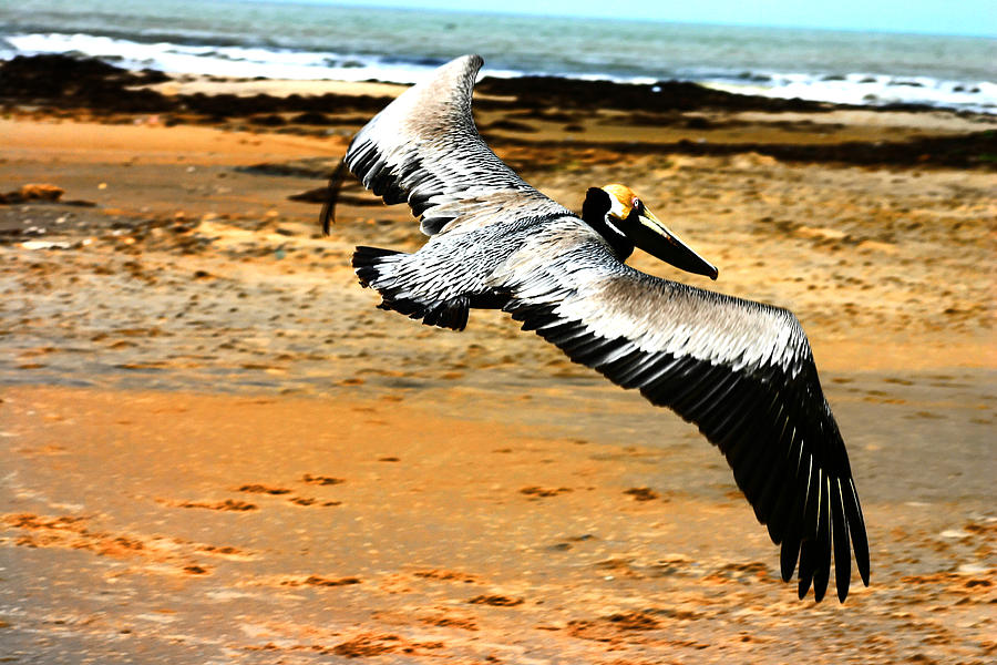 Brown Pelican Photograph - South Padre Pelican by Laurie Prentice