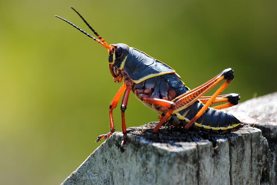 Southeasten Lubber Grasshopper Photograph - Southeasten Lubber by Steven Scott