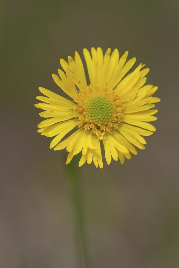 Southeastern Sneezeweed Flower Photograph