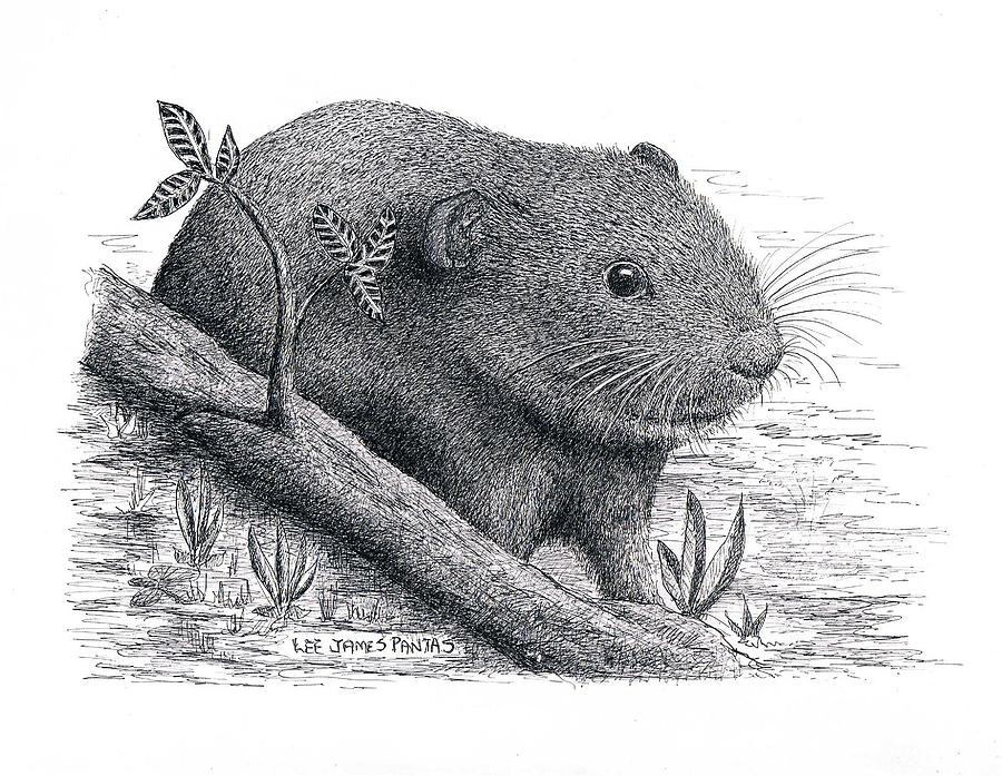 Lemming Drawing - Southern Bog Lemming by Lee Pantas