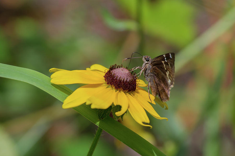 Southern Cloudywing On Blackeyed Susan Photograph