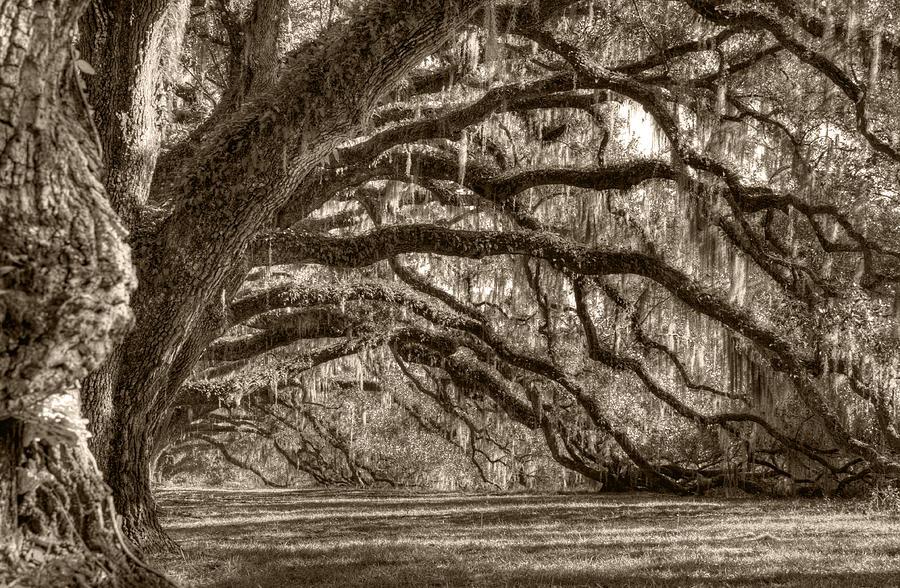 Live Oak Photograph - Southern Live Oak Trees by Dustin K Ryan