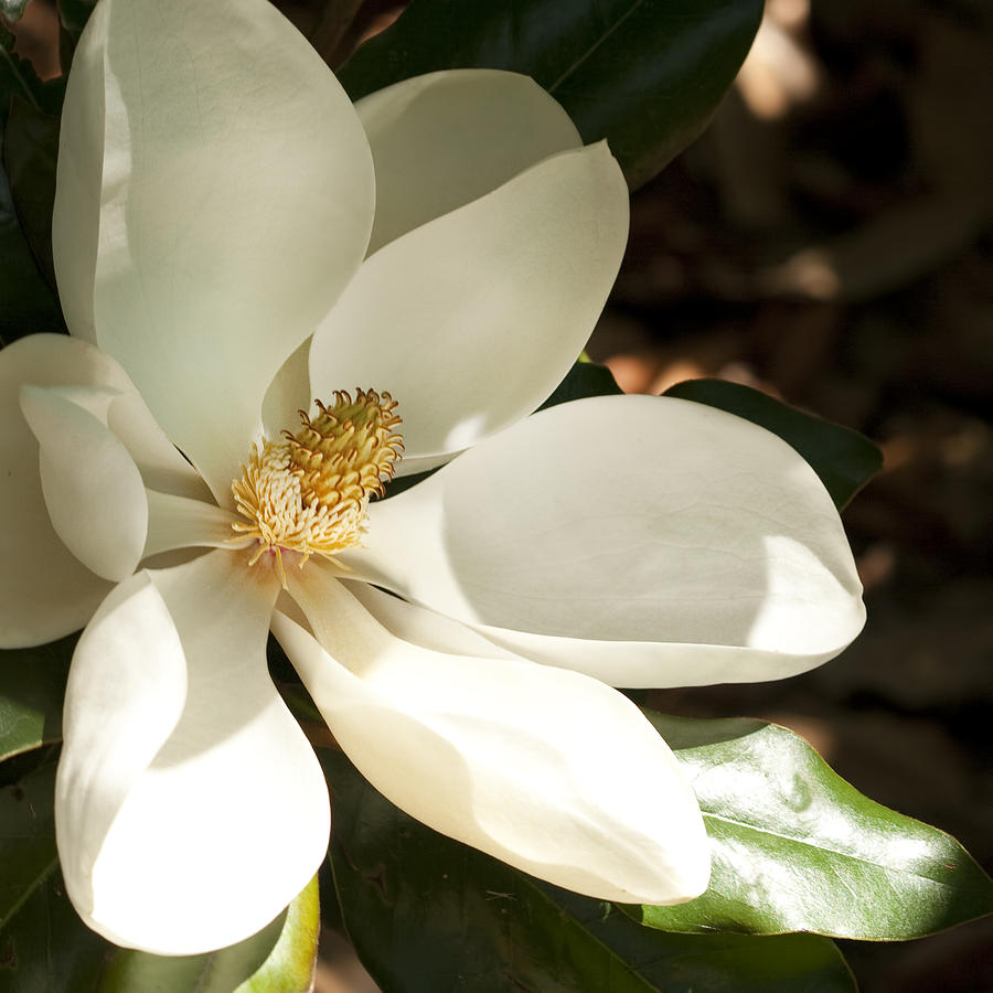 Southern Magnolia Blossom In The Shadows Photograph By Kathy Clark