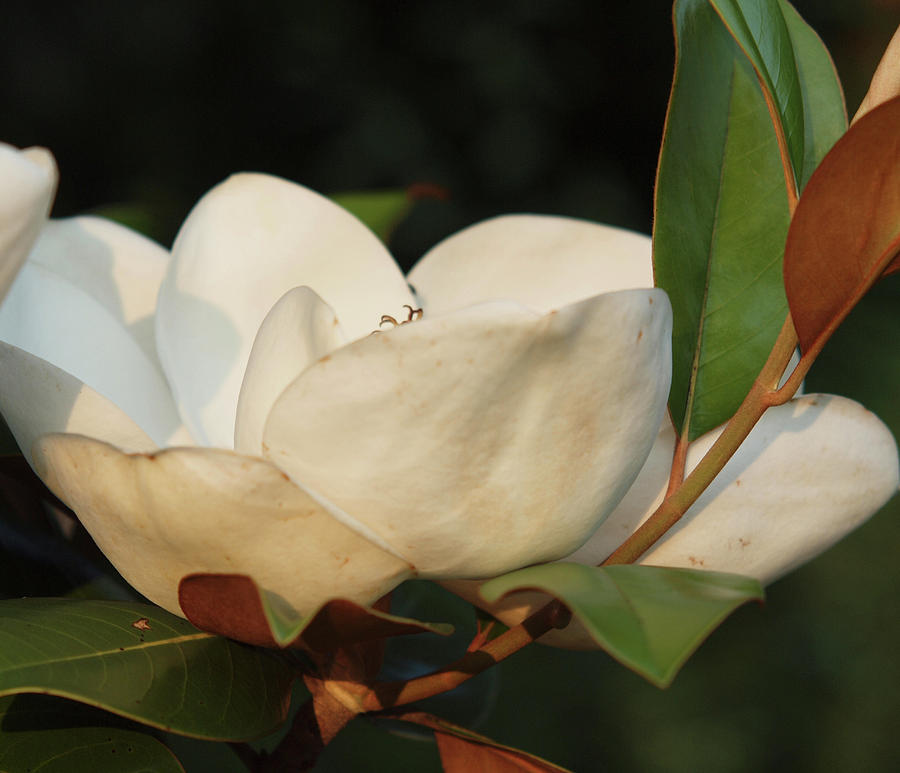 Flowers Photograph - Southern Magnolia by Diane Luke