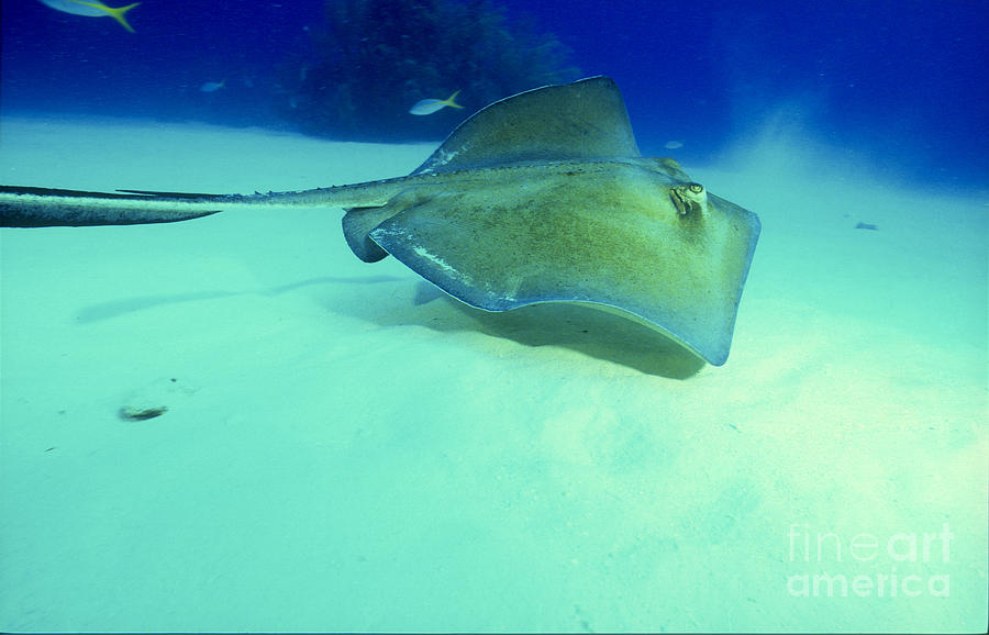 Animal Photograph - Southern Sting Ray by Gregory Ochocki and Photo Researchers