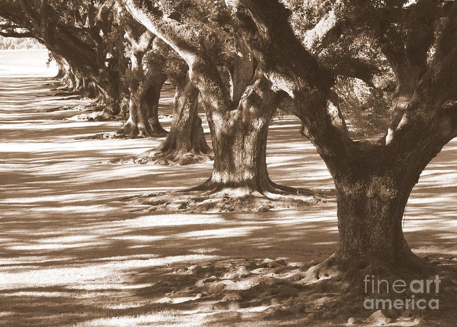 Southern Landscape Photograph - Southern Sunlight On Live Oaks by Carol Groenen