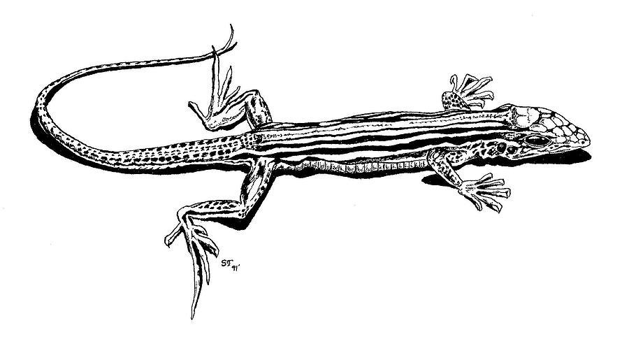 Lizard Drawing - Southwest Lizard by Stephen Taylor