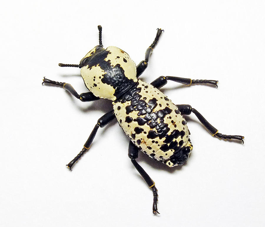 Beetle Photograph - Southwestern Ironclad Beetle by Bill Morgenstern