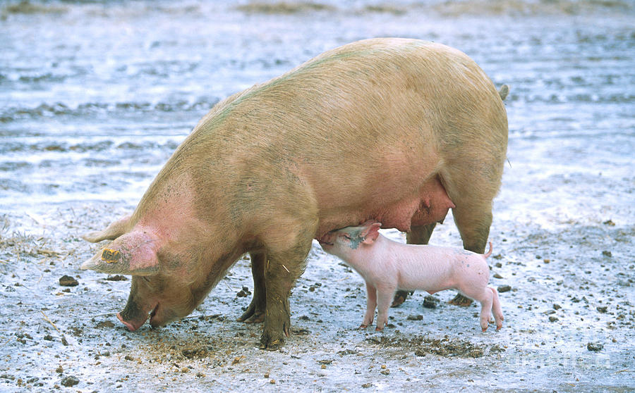 Animal Photograph - Sow With Piglet by Science Source