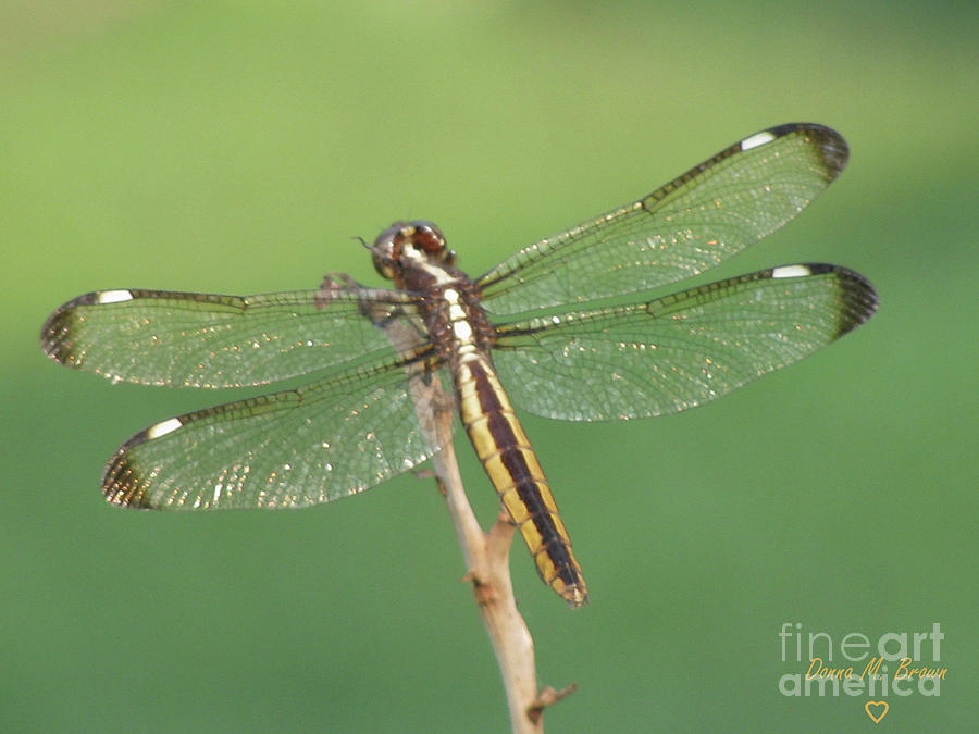 Spangled Skimmer Dragonfly Female Photograph by Donna Brown - photo#14