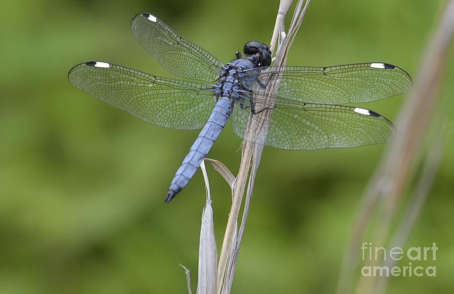 Blue Photograph - Spangled Skimmer by Randy Bodkins