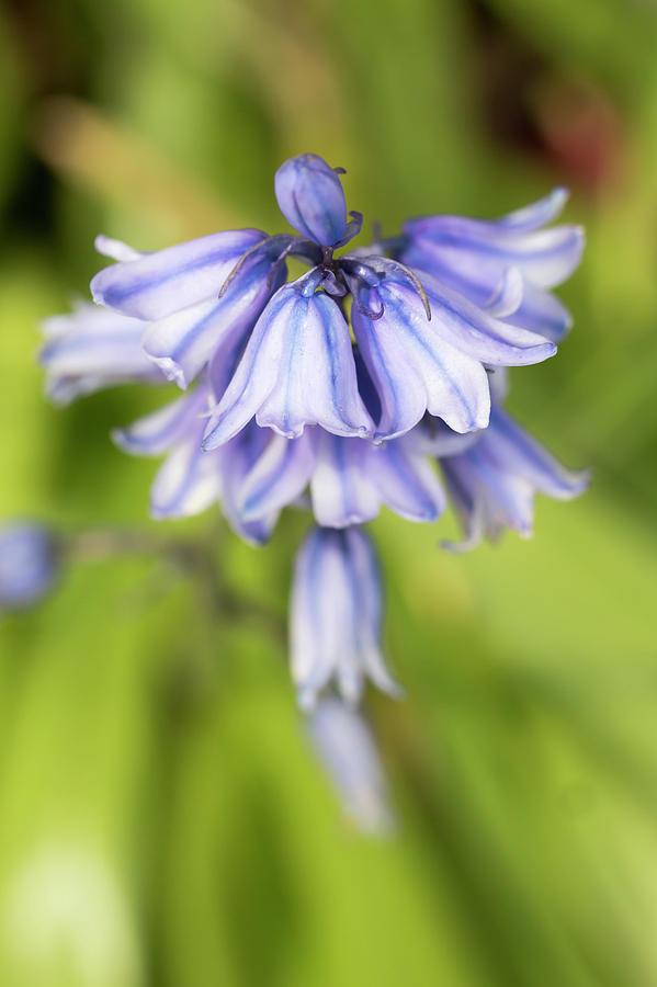 Flower Photograph - Spanish Bluebells 7 by Dawn Cavalieri