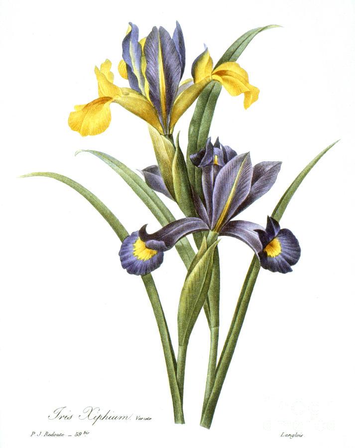 1833 Photograph - Spanish Iris by Granger