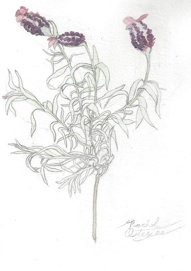 Lavender Painting - Spanish Lavender by Rachel Osteyee