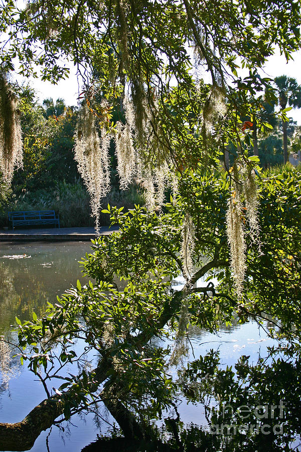 Moss Photograph - Spanish Moss by Beebe  Barksdale-Bruner