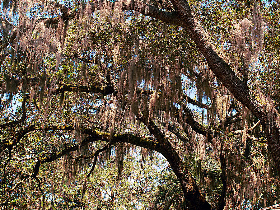 Spanish Moss Photograph - Spanish Moss by Bob Johnson
