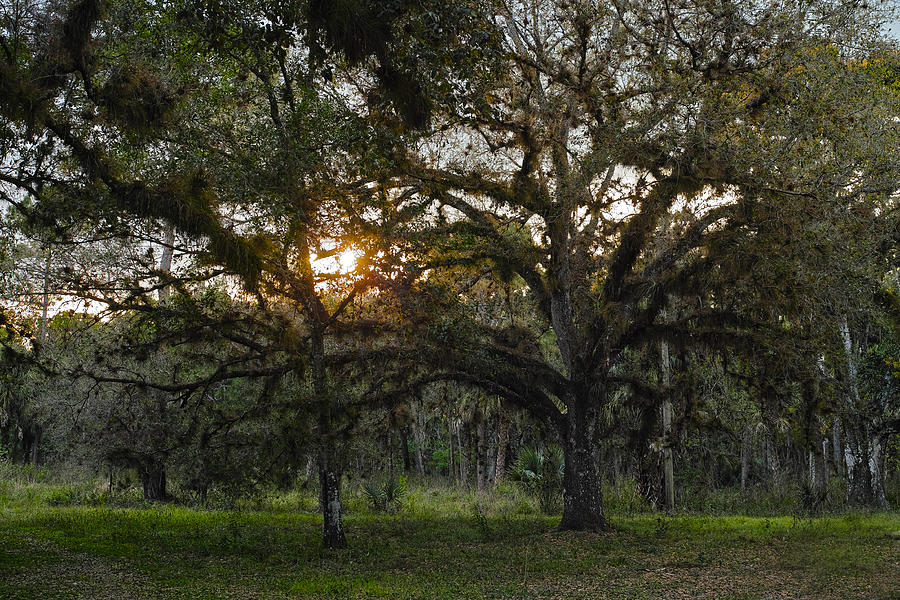 Spanish Moss Photograph - Spanish Moss during Sunset by Roberto Aloi