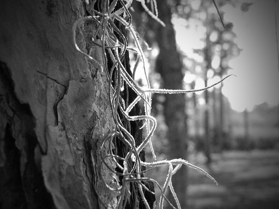Sun Photograph - Spanish Moss In The Florida Sun by Megan Verzoni