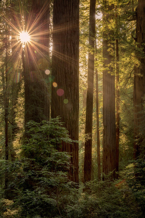 Sparkle in the Redwoods by Jon Ares