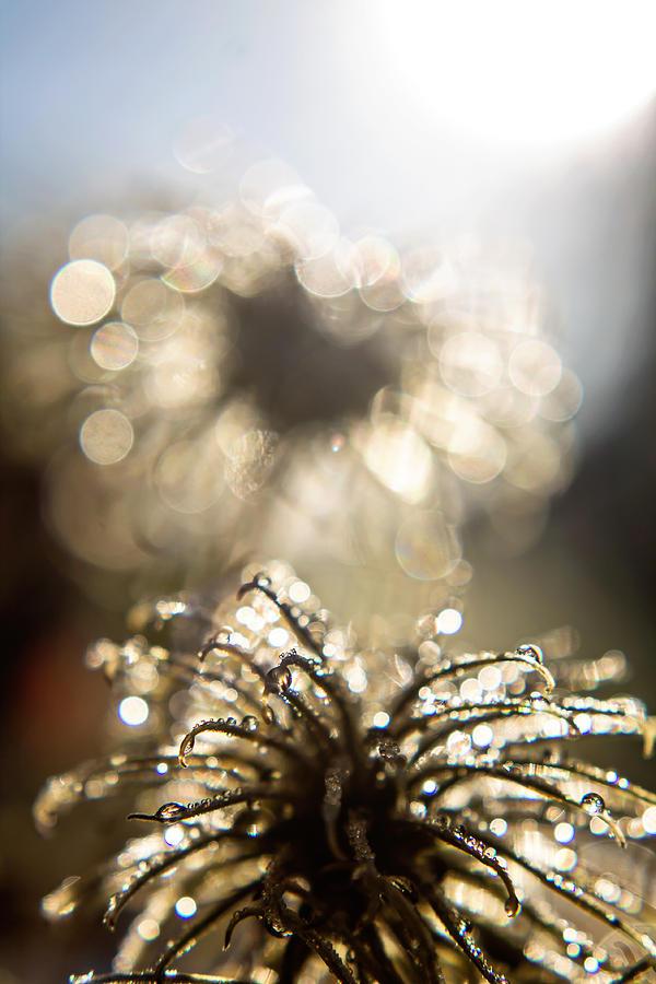 Nature Photograph - Sparkly Seedheads by Montez Sattman