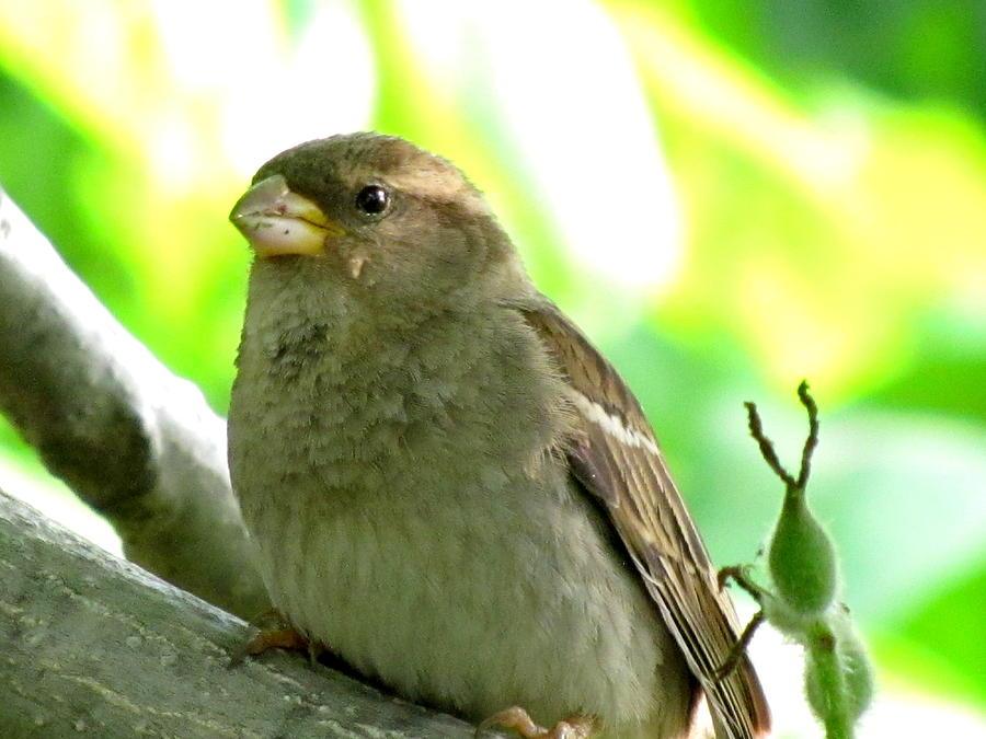 Sparrow Photograph - Sparrow And Walnut Bud by Lisa Jayne Konopka