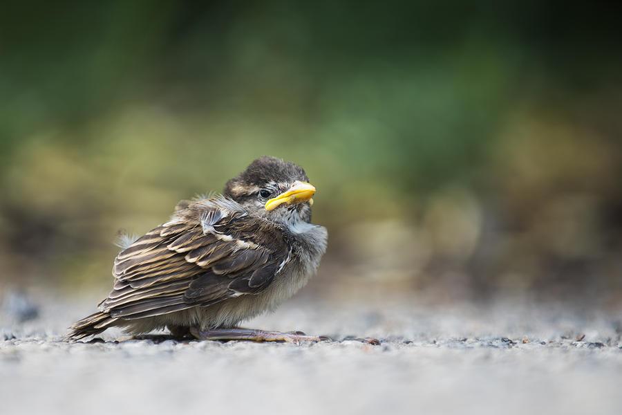 Sparrow Chick Photograph