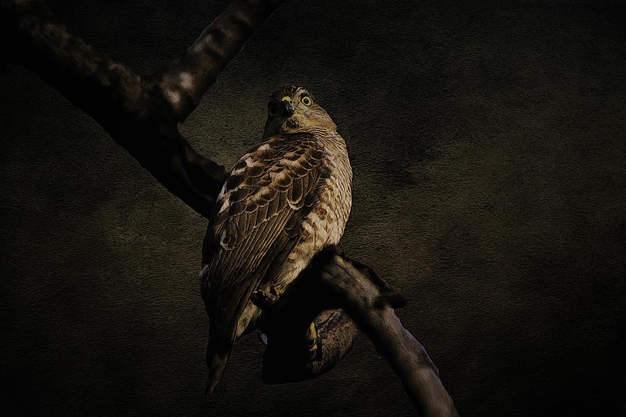 Hawk Photograph - Sparrow Hawk by Manjot Singh Sachdeva
