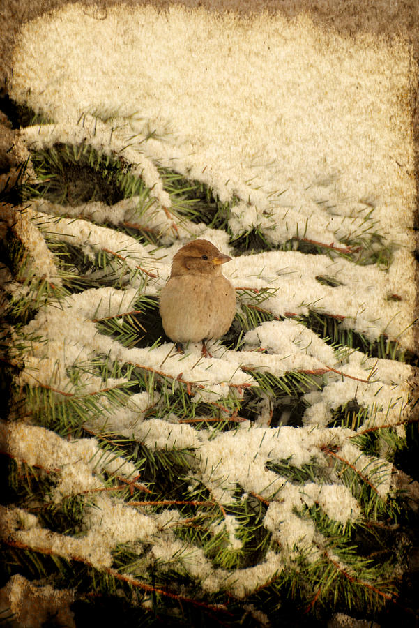 Sparrow Photograph - Sparrow In Winter II - Textured by Angie Tirado