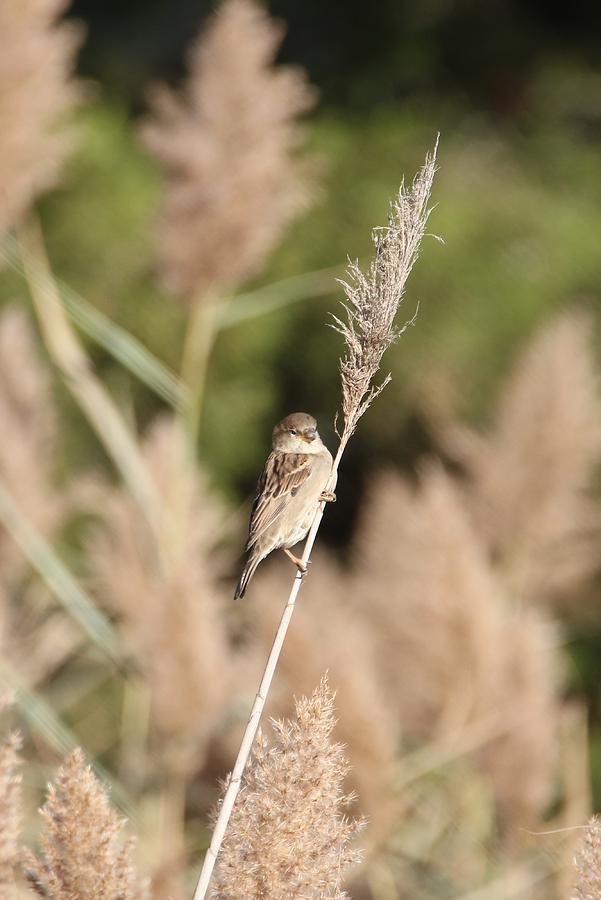 Long Island Photograph - Sparrow On A Reed by Karen Silvestri