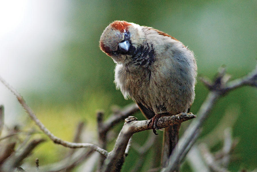 Humor Photograph - Sparrow Puzzled At What It Sees by Steve Somerville