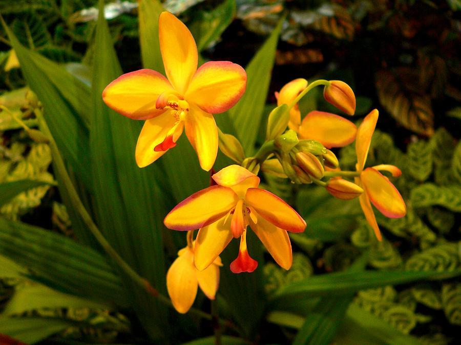 Orchids Photograph - Spathoglottis Vanoverberghii by Rosalie Scanlon