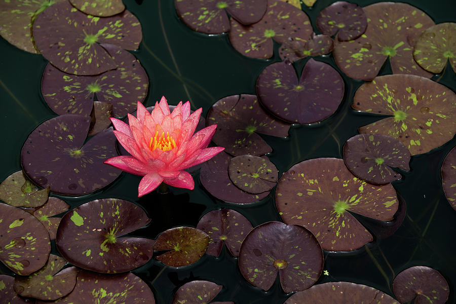 Speckled Red Lily and Pads by Dennis Dame