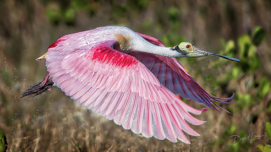 Spoonbill Winging It by David A Lane