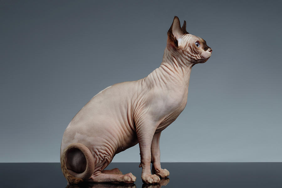 Sitting Photograph - Sphynx Cat Sits and Looking Forward on Black  by Sergey Taran