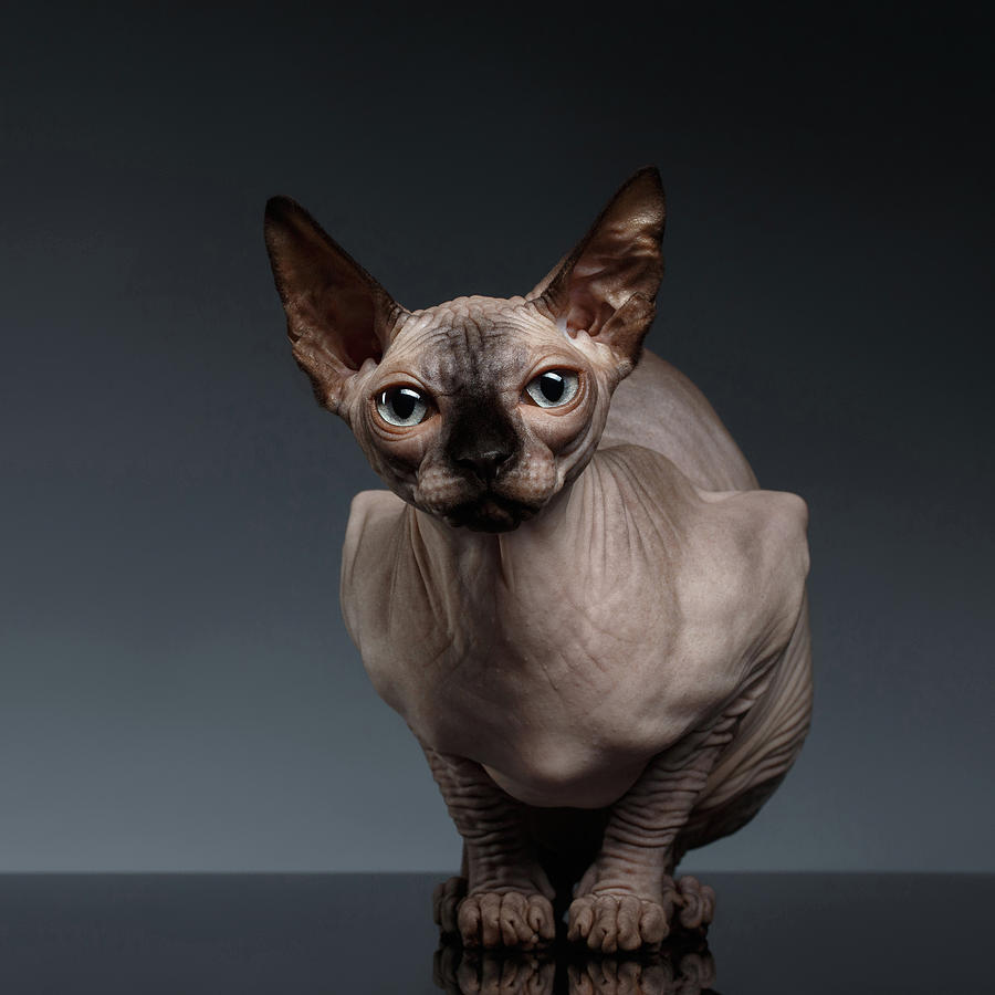 Sitting Photograph - Sphynx Cat Sits in Front view on Black  by Sergey Taran