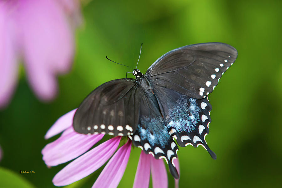 Black Butterfly Photograph - Spice Of Life Butterfly by Christina Rollo