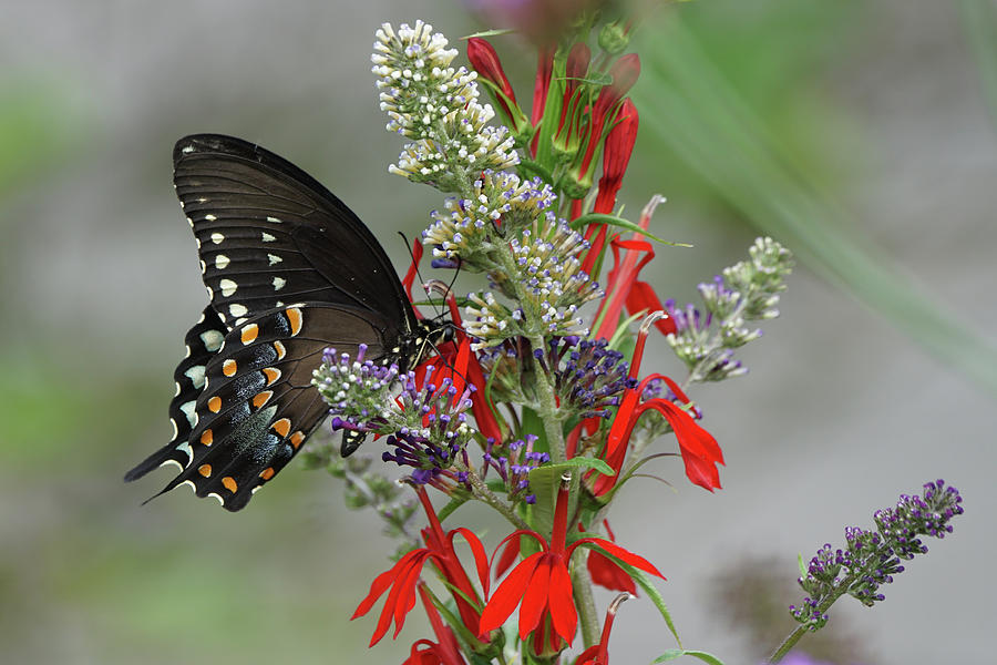 Spicebush Swallowtail and Flowers by Robert E Alter Reflections of Infinity