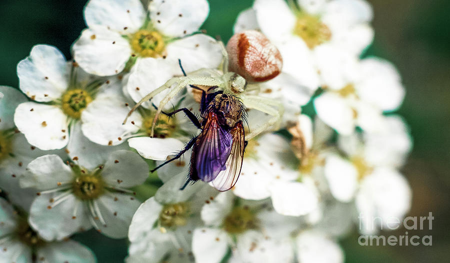Spider And The Fly Photograph