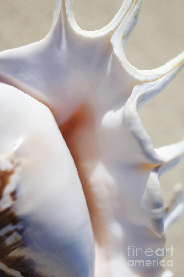 Background Photograph - Spider Conch Shell by Mary Van de Ven - Printscapes