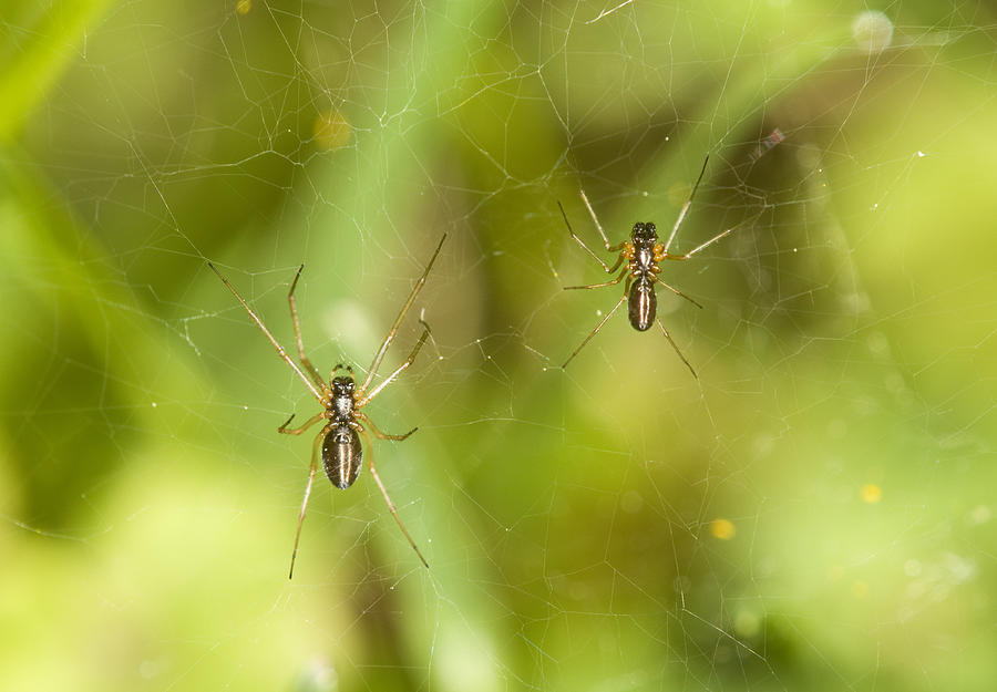 Spider Photograph - Spider Couple by Jouko Mikkola