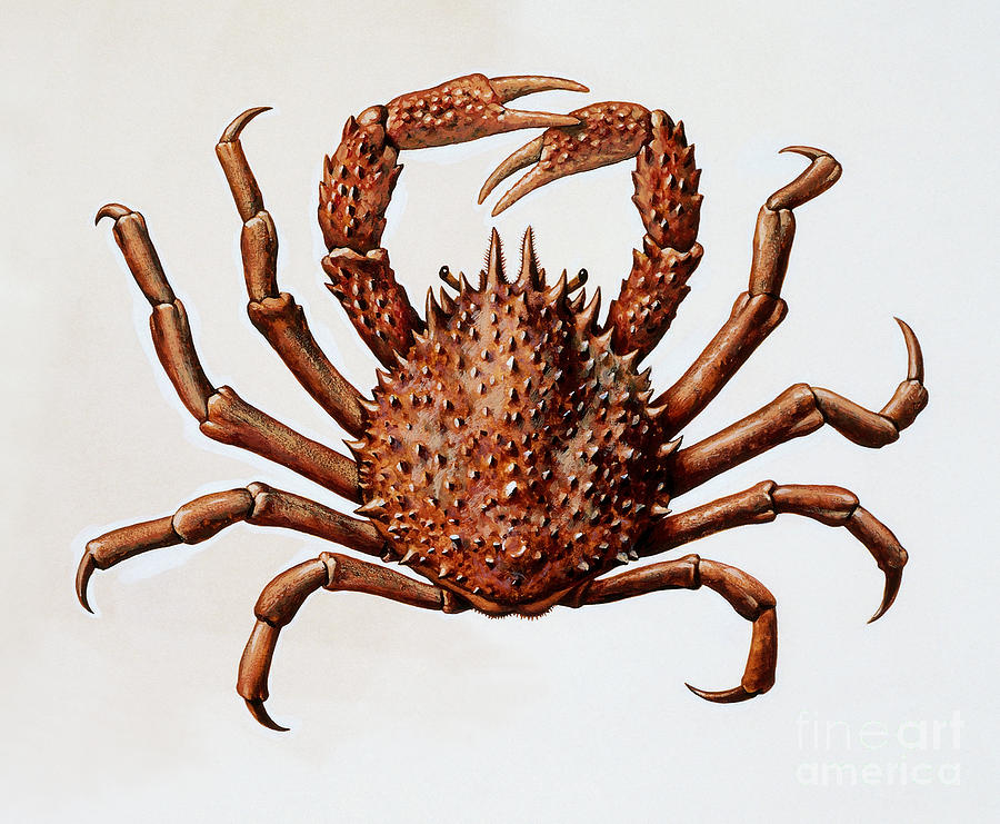 Crabs Drawing - Spider Crab Or Spinous Spider Crab by English School