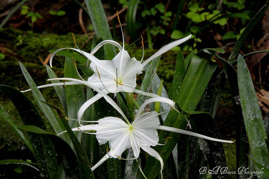 Spider Lily Photograph - Spider Lilies by Barbara Bowen