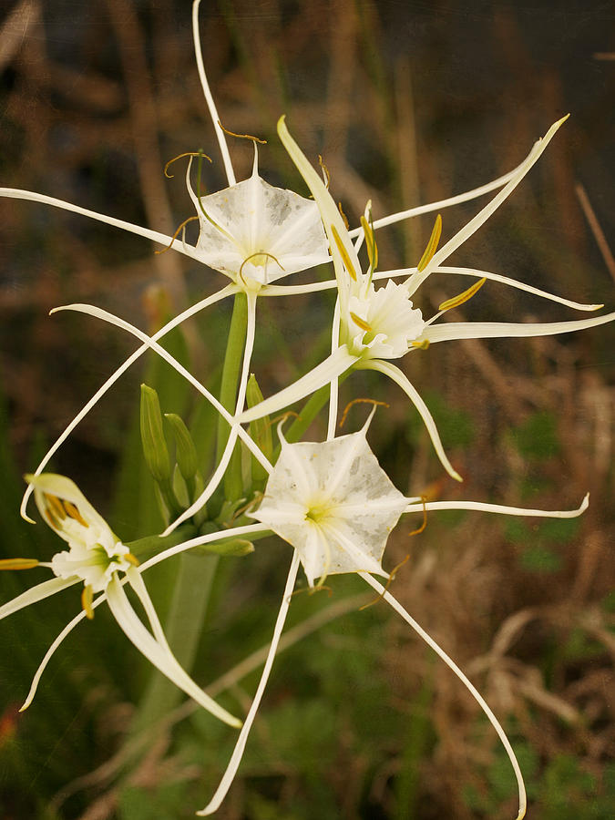 Marsh Photograph - Spider Lily by Charles McKelroy