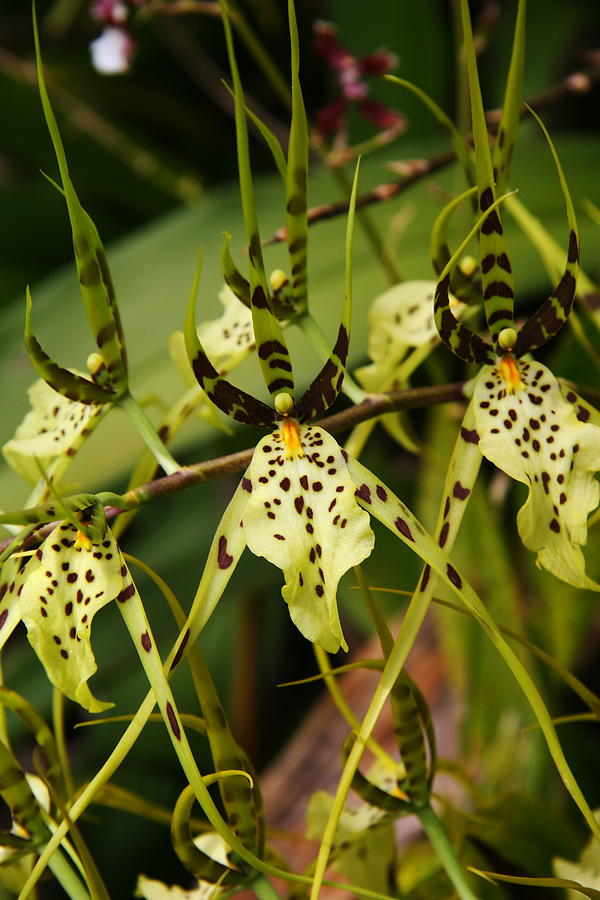 Spider Orchid Photograph by Michael Palmer