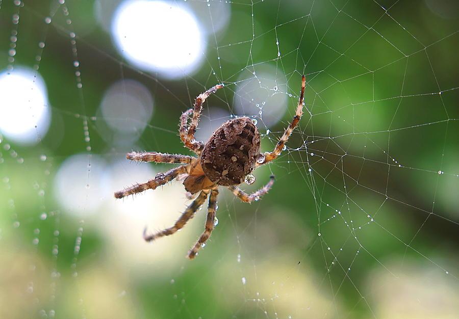 Spider by TJ Scar